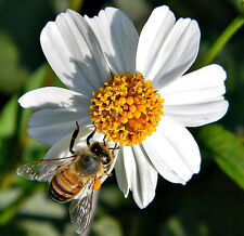 Bidens Pilosa Alba Medicinal butterflies garden plant Spanish Needles 1000 seeds