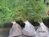 "30 Georgia Mountain White Pine Starter trees 10""-13"" tall Winter fresh seedlings"