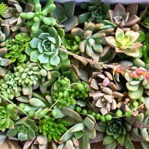 SUCCULENTS 25 x Succulent Mix Pack, Freshly Cut