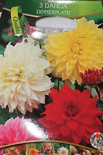 3 Blumenzwiebeln,Knollen,Dahlien,Dinnerplatte,Mischung#BZ89