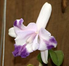 New listing Blue Cattleya Delft Flare x Blue Hawaii Orchid Plant - Bin