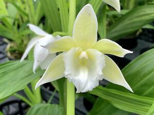 Orchid plant Phaius Microburst 'Chartruese Magic'  In Spike
