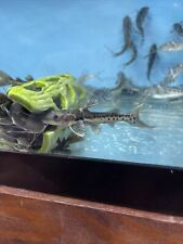 Leopard Catfish 4 Inch Live Tropical Fish