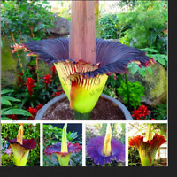 10 PCS Seeds Corpse Flower Plants Arum Titan Bonsai Rare Free Shipping 2021 New