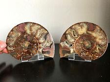 Fossil / Paar'Ammonit Fossil in Scheiben geschnitten / aus der gesägt Madagaskar