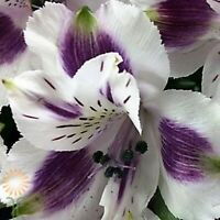 20 White Purple Alstroemeria Lily Seeds Flower Seed Perennial Seed 77 US SELLER