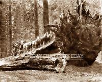 PHOTO STAGECOACH STAGE COACH LOG LOGGERS LOGGING REDWOOD TREE CALIFORNIA CA