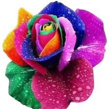 100pcs Colorful Rainbow Rose Flower Seeds Home Garden Plants US STOCK