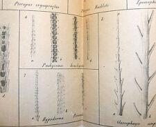 PIPISTRELLI - MARCHI: MORFOLOGIA PELI CHIROTTERI 1873 Zoologia Storia Naturale