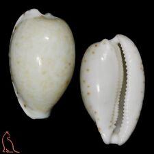 Cypraea Notocypraea occidentalis, Australia, Cypraeidae sea shell