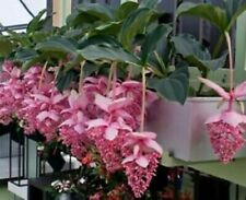 100 Pcs Medinilla Magnifica Bonsai Beautiful Flower For Home Garden Decoration