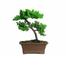 5 Years Old Green Mound Juniper Bonsai Live Tree 13 Inches Tall Japanese Outdoor