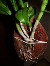 Coconut Shell Orchid Husk Tropical Plant 100% Natural Home and Garden Hanger