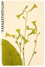 Nicotiana langsdorffii 'Langsdorff's Tobacco' 1000+ SEEDS
