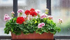 100Pcs Pelargonium Plant Seeds Geranium Mixed Bonsai Balcony Garden Home Flower