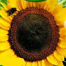 Sonnenblume Riesen Sonnenblumen Helianthus 30-40 cm grosse Köpfe 50 Samen Nr.202