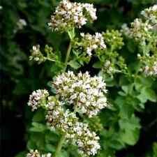 500 OREGANO Origanium Vulgare Herb Flower Seeds + Gift