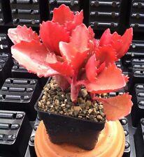 Kalanchoe Longiflora Coccinea - Succulent Plant