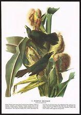 1930s Original Vintage Audubon Purple Grackle Bird Limited Edition Art Print
