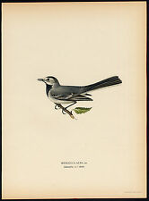 Antique Print-MOTACILLA ALBA-WHITE WAGTAIL-FEMALE-Von Wright-1917
