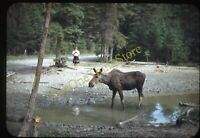 Woman Moose Nature Outdoors 1940s 35mm Slide Red Border Kodachrome Fashion