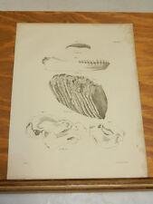 1842 Antique Natural History Prints/SKULLS & TEETH OF MANATEE,ELEPHANT,MUSQUASH