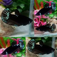 Green Black Star Halfmoon Plakat Female-IMPORT LIVE BETTA FISH FROM THAILAND