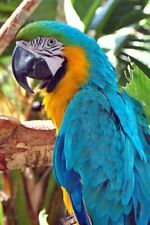 More details for macaw parrot yellow and blue portrait photograph picture print