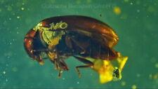 Bitterfelder Naturbernstein, mit einem Käfer