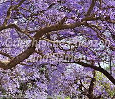 JACARANDA MIMOSIFOLIA Palisander-Baum 10 Semillas Flores del sueño azul