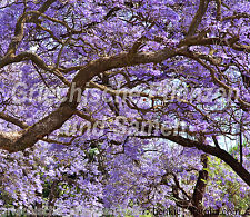 JACARANDA MIMOSIFOLIA Palisander-Baum 10 Semi Fiori di sogno blu BEL REGALO