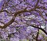 JACARANDA MIMOSIFOLIA Palisander-Baum* 10 Samen *Traumblüte blau TOLLES GESCHENK