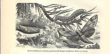 Stampa antica FARFALLE Sphinx pinastri BUTTERFLIES 1891 Old antique print
