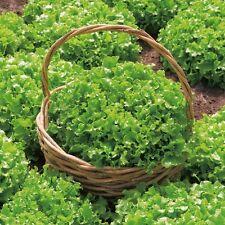 Vegetable Seeds - Lettuce - Salad Bowl - 2000 Seeds