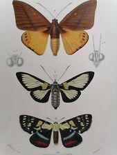 Orbigny Gravure Sur Acier XIXème Lépidoptères Papillons Castrie Cocytie 1849