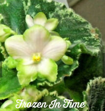 African violet plant - Frozen in Time