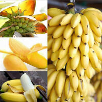 Sweet 100Pcs Rare Dwarf Banana Tree Seeds Bonsai Seed Exotic Garden Fruit Plants