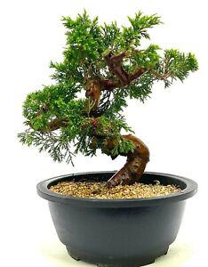 Superb Shohin Shimpaku Chinese Juniper Bonsai tree Material SB2 - excellent move