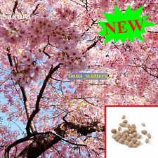 20pcs RARE Japanese Sakura seeds, Giant Japanese Pink Cherry Blossom Sakura Tree