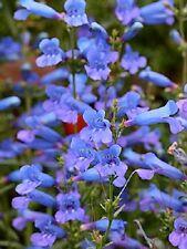 50+ Penstemon Heterophyllus Blue Spring Flower Seeds / Perennial