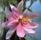 PASSIFLORA MOLLISSIMA SEEDS - PASSION FLOWER - TROPICAL FLOWERS - 10 Seeds
