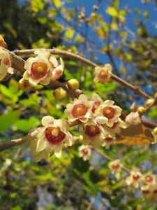 Chinesische Winterblüte Chimonanthus praecox Pflanze 15-20cm Calycanthus praecox