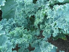 500 Blue Vates Kale Seeds Non-GMO Highly Nutritious Super Food Wholesale Price