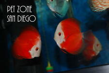 Melon Red Discus - Medium Size - Live Tropical Fish - Discus Cichlid