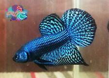 LIVE BETTA FISH BREEDING PAIR ELECTRIC BLUE HYBRID ALIEN WILD TYPE (WT43)