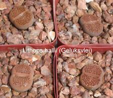 50 graines de Lithops hallii geluksvlei,pierres vivantes, succulentes F