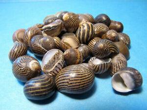 ZIG ZAG NERITE CRAFT SEASHELLS-1/4 cup- aquariums,fillers, beach decor,shell art