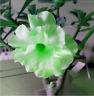 Bright Green Adenium Desert Rose Flower Seeds, 2 seeds, 3-layer big blooms
