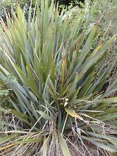 50 Samen Phormium tenax, Neuseeländer Flachs