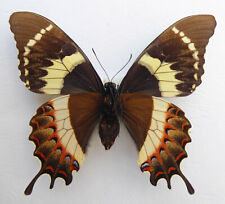 Papilio garamas ssp.electryon Weibchen aberation ex El Salvador, Philippines n65